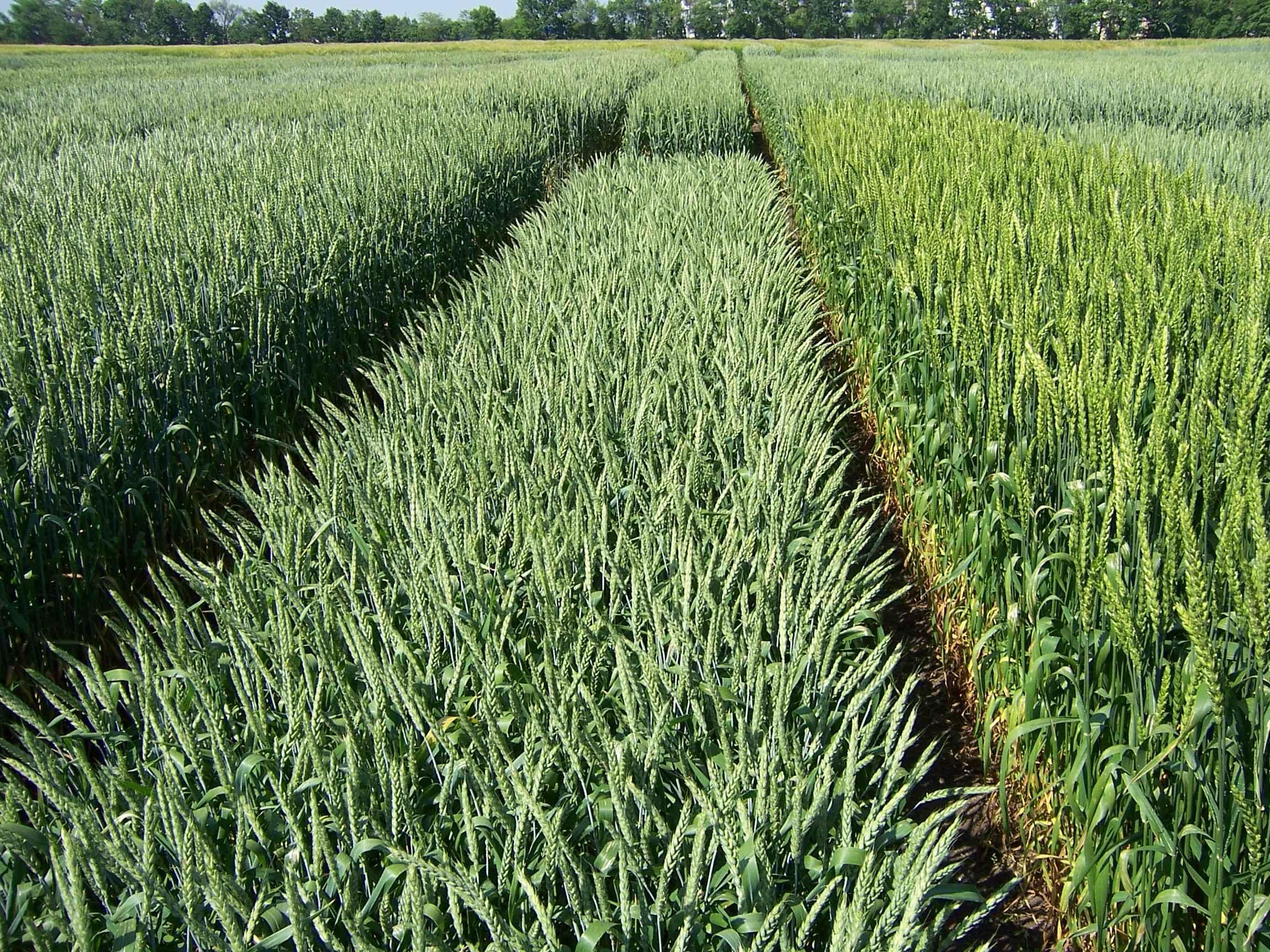 потом озимая пшеница фото весной всходы пожелтели подобранный интерьеру