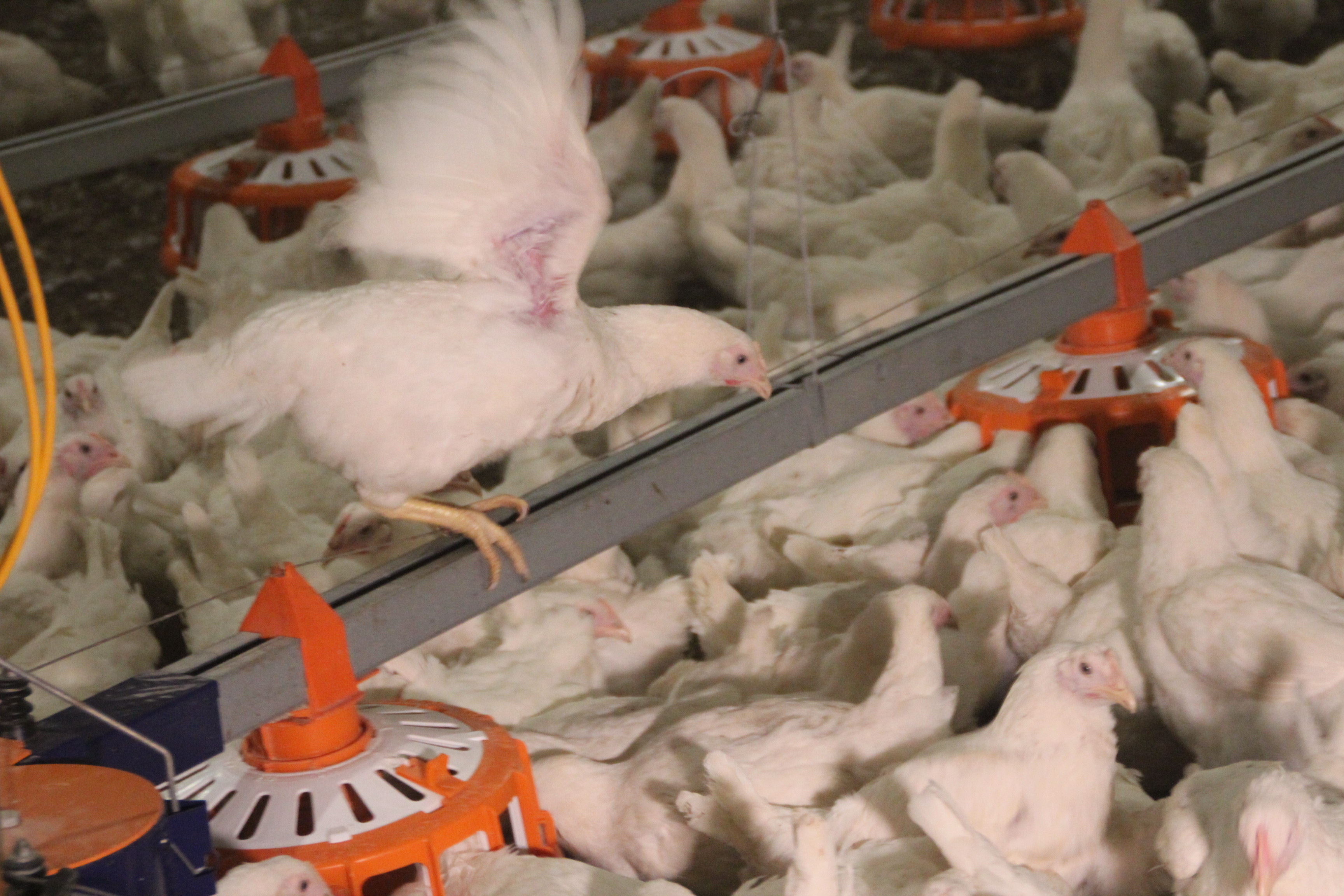схема размещения птицефабрики