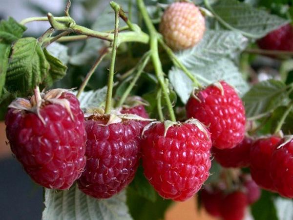 Сад и огород → ремонтантная малина