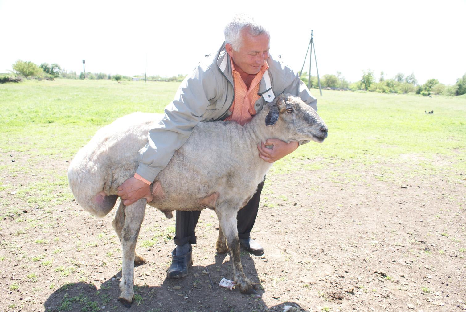 фото овец курдючных