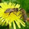 Пчелы , Мед и все , что с этим связанно!