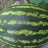 Аватар пользователя semena-arbuza