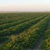 Специально для фермеров, имеющих отношения с итальянскими питомниками, Россельхознадзор после предварительного мониторинга разрешил ввоз саженцев и рассады из Италии.