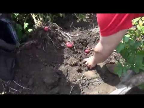 Какие сорта картофеля выстояли наперекор заморозкам и граду на Кубани