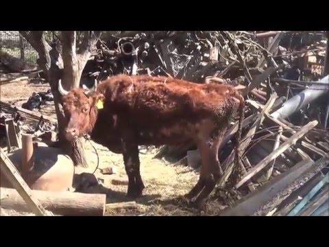 Коровы в антисанитарных условиях на подворье в Ростовской области