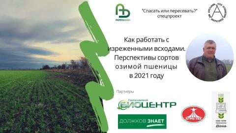 Как работать с изреженными всходами. Перспективы сортов озимой пшеницы в 2021 году