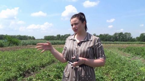 Биологическая защита картофеля от «Биотехагро». Ранний клубень России. Испытания морозом и градом