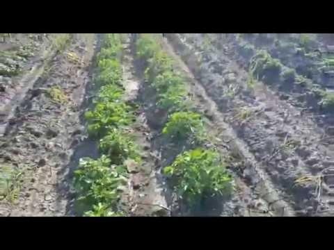 Мороз и град: что будет с ранним картофелем на Кубани