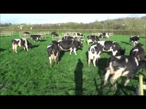 Dancing cows. Spring 2017. Full uncut version