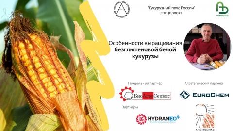 Особенности выращивания безглютеновой белой кукурузы