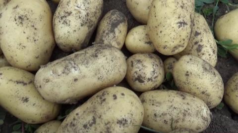 Применение микроудобрений «ЖУСС» на картофеле. «Ранний клубень России. Испытания морозом и градом»