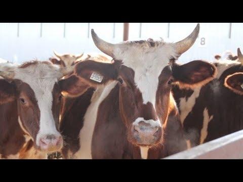 Мясная ферма «Агропарк Развильное»: содержание КРС, комбикормовая станция «Восход», осмотр техники