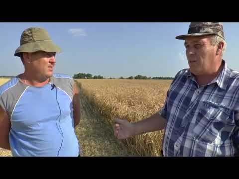 Стимикс Нива. Севоборот - пшеница по пшенице много лет подряд