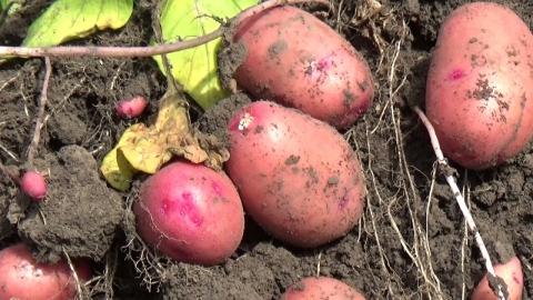 Сорта картофеля селекции Norika для ЮФО