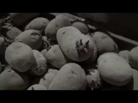 Закладка урожая самого раннего картофеля в России