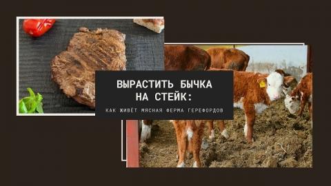 Вырастить бычка на стейк: как живёт мясная ферма герефордов