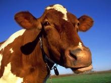 Правильно рассчитанный рацион животных повысит рентабельность