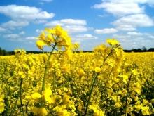 Урожай зимнего рапса на Ставрополье будет ниже ожидаемого