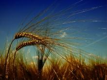 Экспорт органического зерна: требования, процедуры, цены