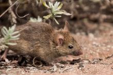 Мыши: погрызут – не погрызут?