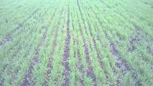 Как помочь озимым зерновым культурам
