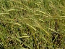 Аграрии задумались о перспективах выращивания хлеба в условиях введения новой вывозной пошлины