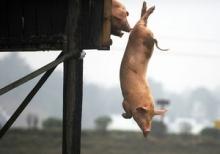 Находчивые фермеры придумывают необычные способы сделать мясо вкуснее и оградить свой скот от краж
