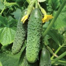 Как правильно выращивать огурцы на приподнятой тёплой грядке