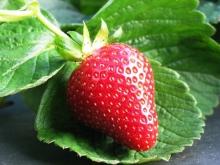 Как ухаживать за клубникой после сбора ягод