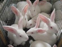 Из-за роста цен на корма отечественное кролиководство переживает непростые времена
