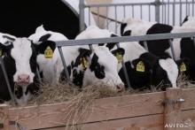 На Ставрополье прибыли быки-производители из Канады