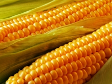 В Ростовской области ведущие семеноводческие компании проведут единый День поля по кукурузе