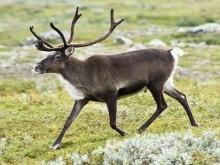 Популяция оленей на Дальнем Севере сократилась в три раза