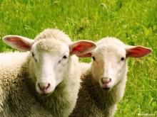 В Волгоградской области похитетели украли стадо овец