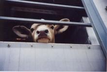 Больше всего животноводческих грузов без ветеринарно-сопроводительных документов задержано в Багаевском районе.