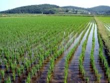 Из-за отсутствия воды рис в Крыму не посеют