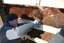 И снова хутор Красный скотовод: СМИ помогли ветеринарам исследовать КРС на бруцеллёз