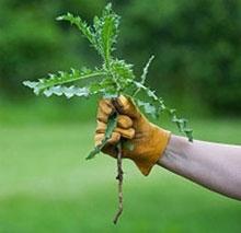 Избавляемся от сорняков в саду и огороде