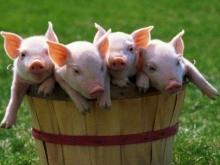 Россия может начать импорт свиней из ЕС