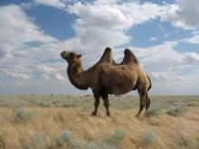 Астраханский фермер застраховал верблюдов от тепловых ударов