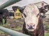 КРС, животноводство, ферма