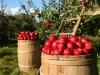 Кому яблоко наливное, родное? НДС на фрукты и ягоды могут снизить до 10 %