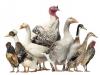 Основные ориентиры для молодых птицеводов