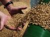 Закупочные цены на зерно упали до уровня 2014 года