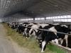 В Саратовской области голландцы построят молочную ферму