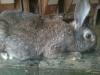 """Каких кроликов выбрать для разведения - породистых или """"дворняжек"""""""