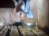 Мой опыт применения соломоконцентрата в кролиководстве