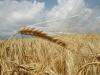 Ошибка агронома №27 - На опрыскивание сельхозкультур допущен необученный механизатор