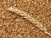 Экспортную пошлину на зерно отменять не будут, а может быть даже и продлят