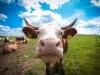 """""""Рекордистки мяса не дают"""" или как получить больше 11 тонн молока от коровы"""